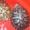 черепахи водяные красноухие #440852