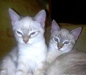 отдам прекрасных котят! - Изображение #1, Объявление #1502594